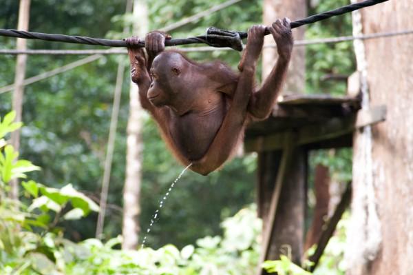pissing-monkey