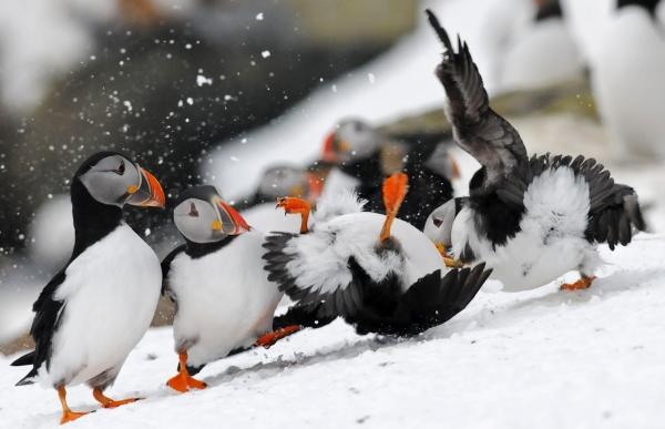 puffins-fight3-hornoya-mrch2011-tamundsen-biotope
