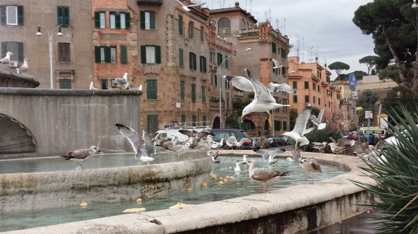 invasione gabbiani a roma 2